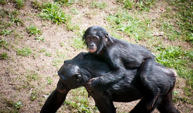 šimpanzí matka